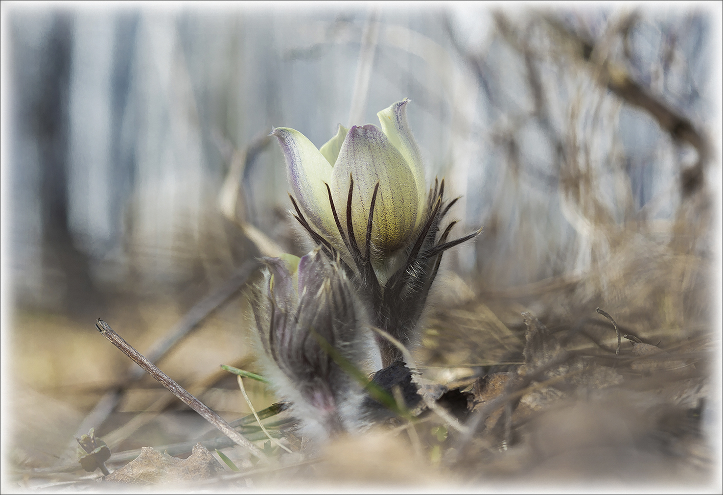 """photo """"***"""" tags: macro and close-up, nature, forest, spring, весенний цветок, трава-сон"""