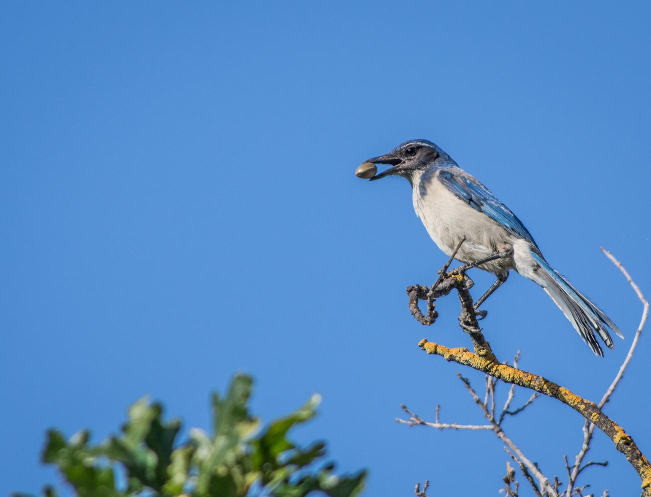 "photo ""Синяя Сойка (Blue Jay)"" tags: nature, PFR  BLUE JAY _ACF8301"