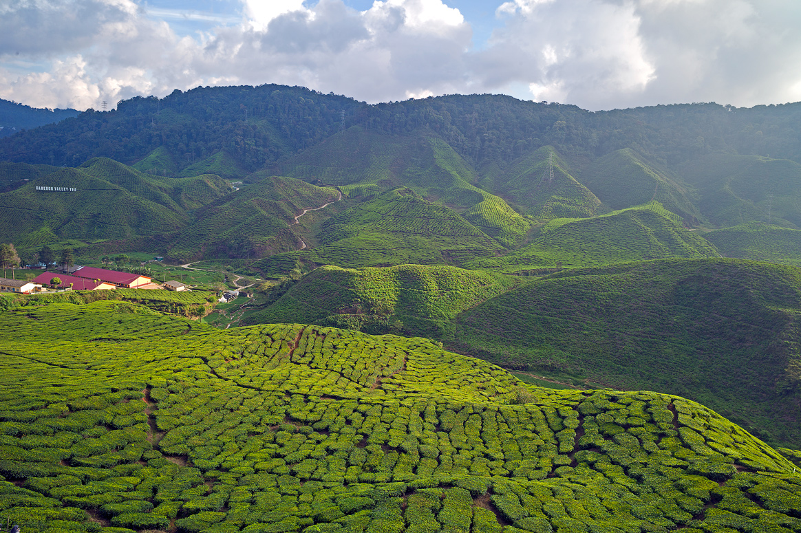 """фото """"Чайные плантации"""" метки: пейзаж, путешествия,"""