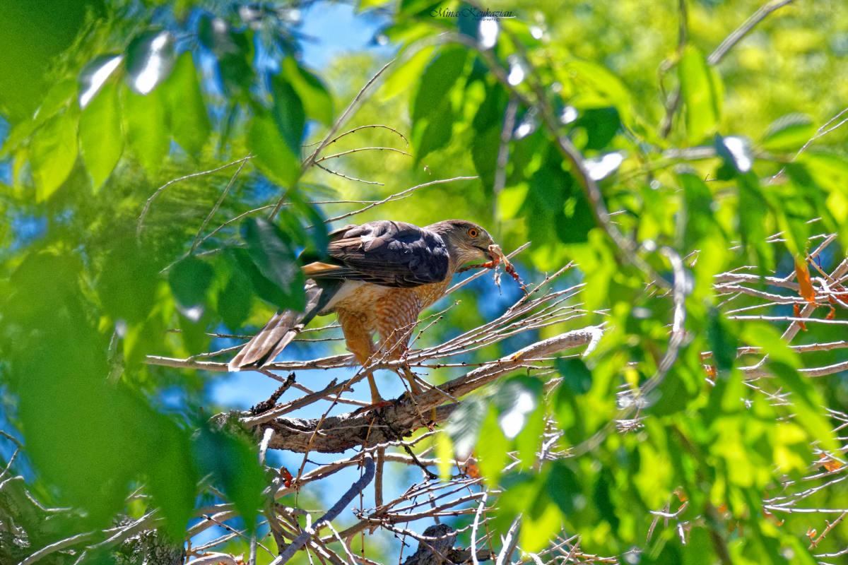 "photo ""Cooper's Hawk"" tags: nature, misc., wild animals bird fish lake"