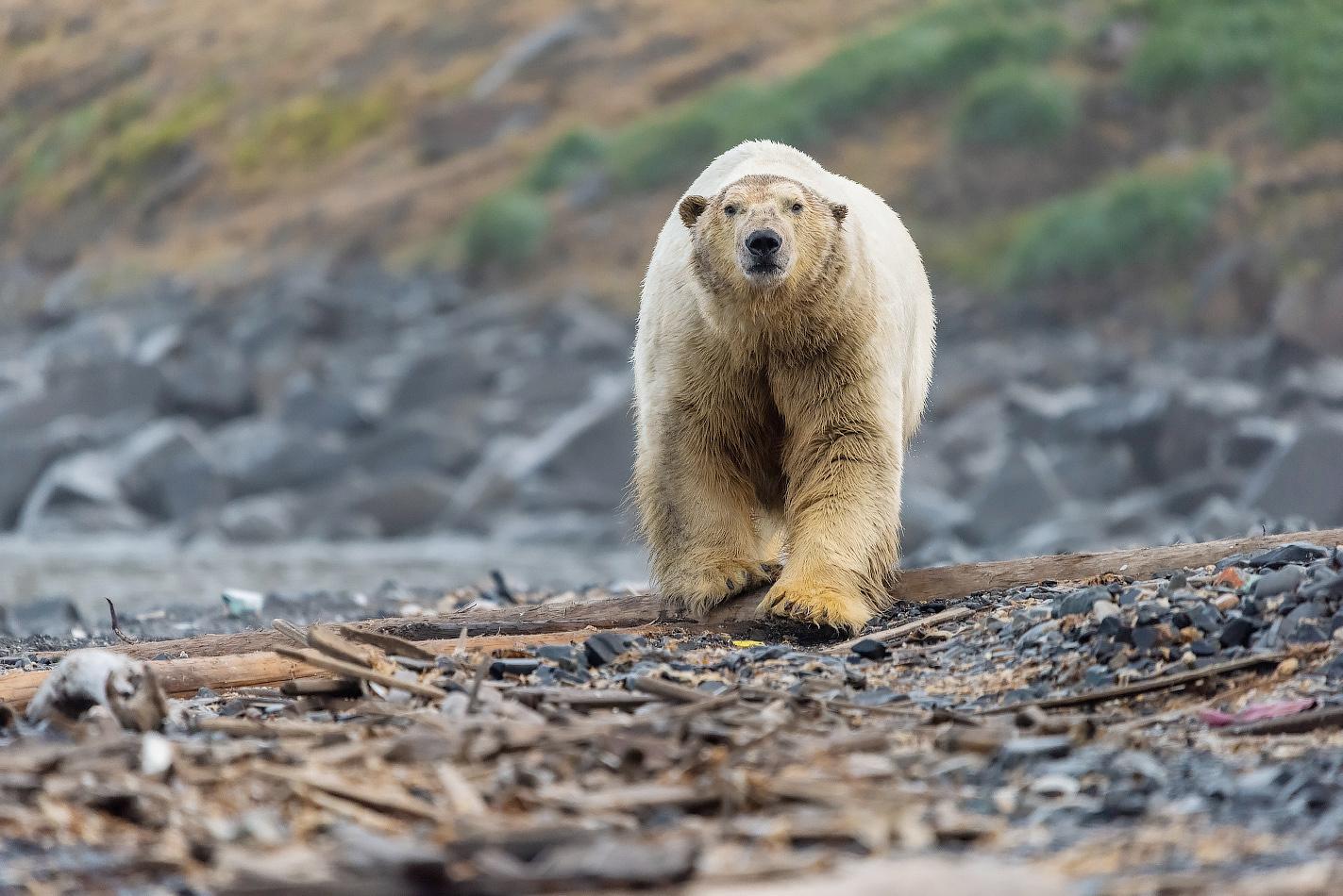 "photo ""***"" tags: nature, travel, Чукотка, белый медведь, животные, путешествие"