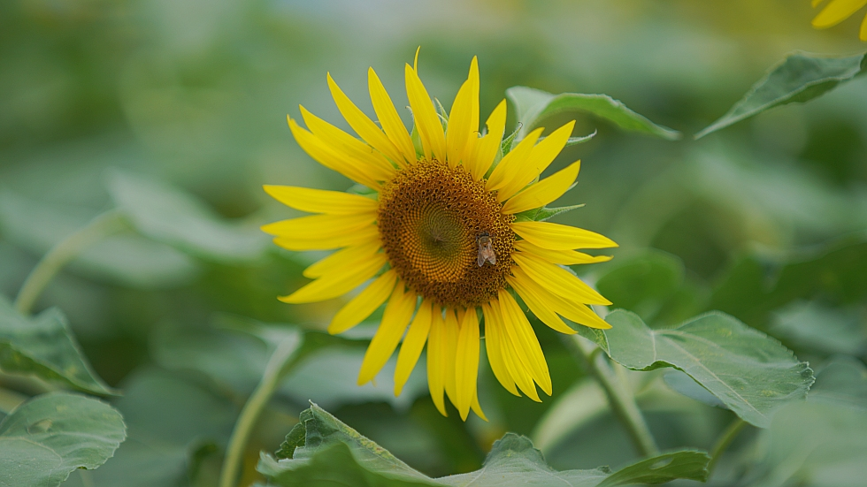 """photo """"sunflower"""" tags: nature, city, travel, Asia, flowers, summer"""