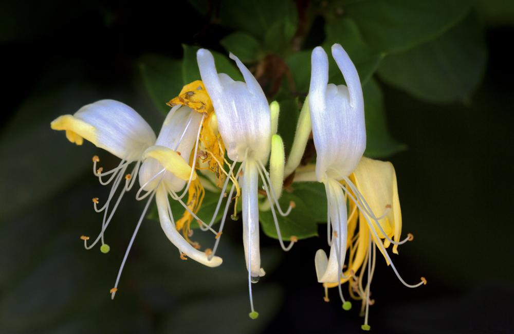 """фото """"Жара пеленает цветы..."""" метки: макро и крупный план, жасмин, цветы"""