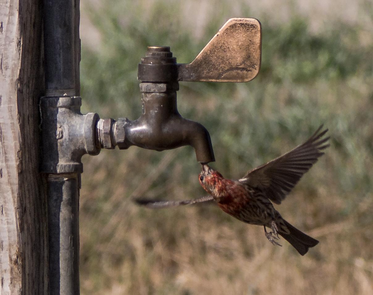 "photo ""Напейся не облейся"" tags: nature, Птичка Поилка Tap"