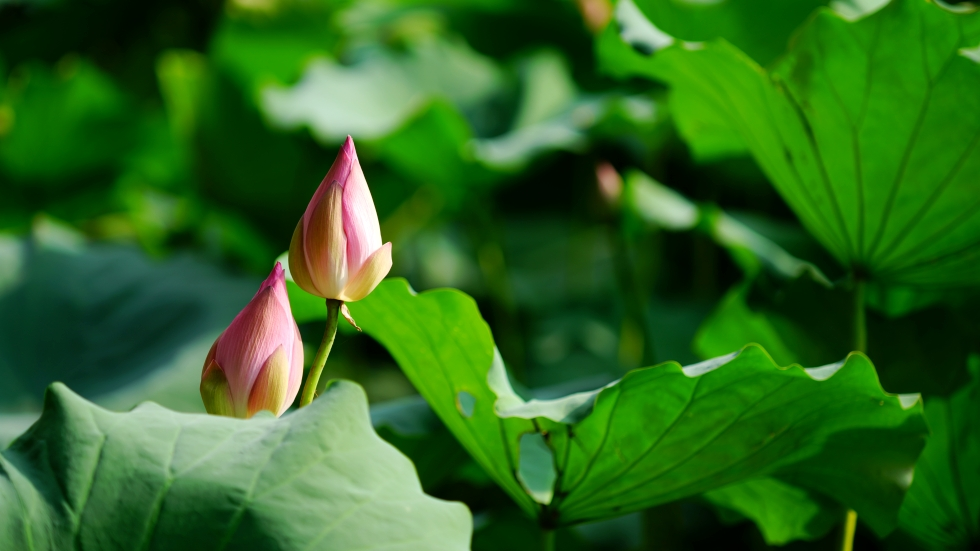 "photo ""lotus"" tags: nature, still life, city, Asia, clouds, flowers, forest, lake, summer"