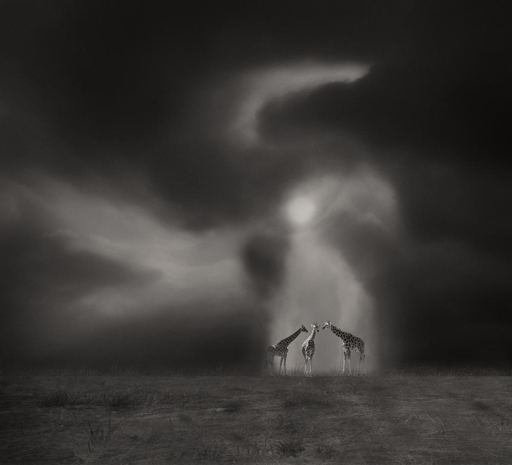 "photo ""Drei Giraffen"" tags: digital art, fineart, monocrom"