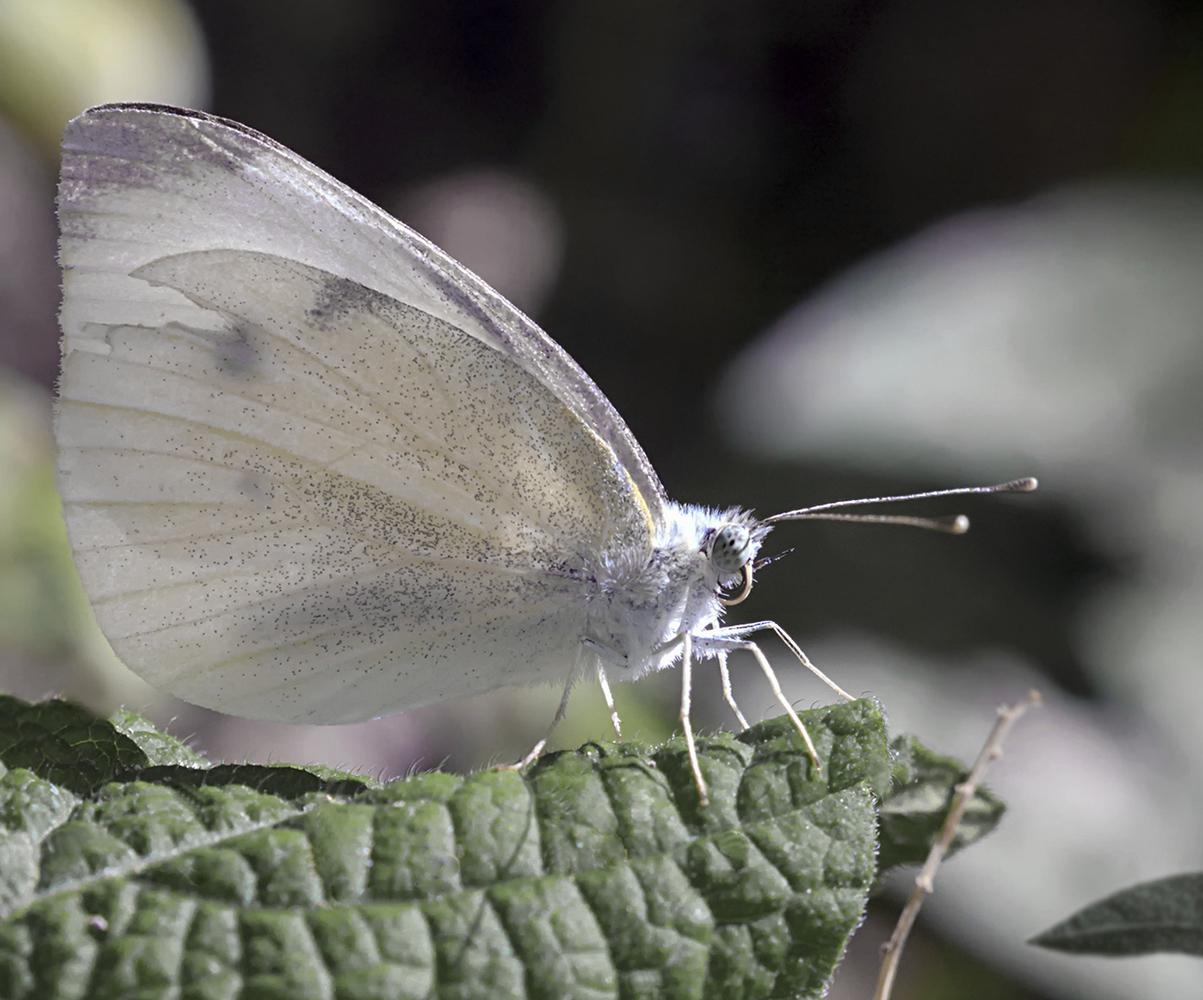 """фото """"Танцующая в августе"""" метки: макро и крупный план, бабочка"""