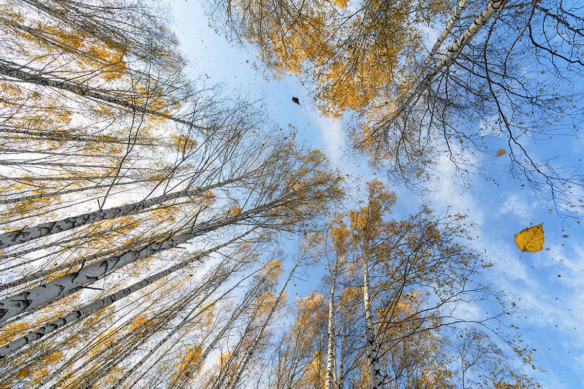 """фото """"Листопад в березовой роще"""" метки: пейзаж, березы, желтые листья, лес, листопад, осень"""