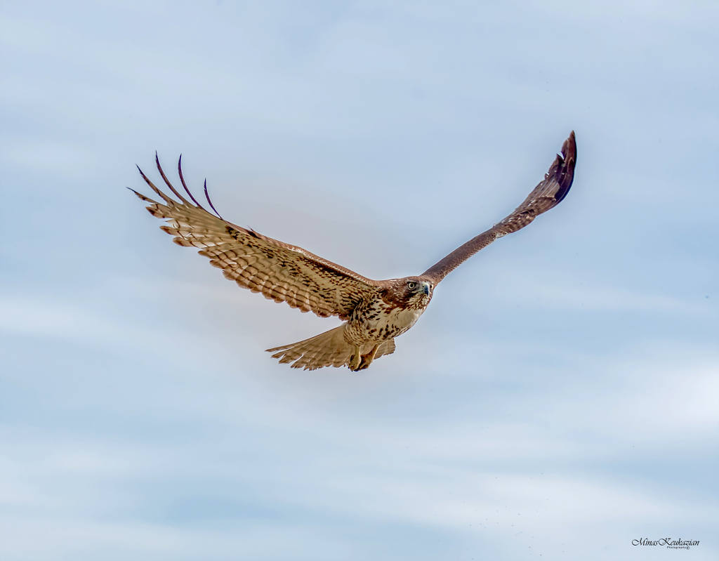 """photo """"Red-tailed hawk"""" tags: nature, misc.,"""