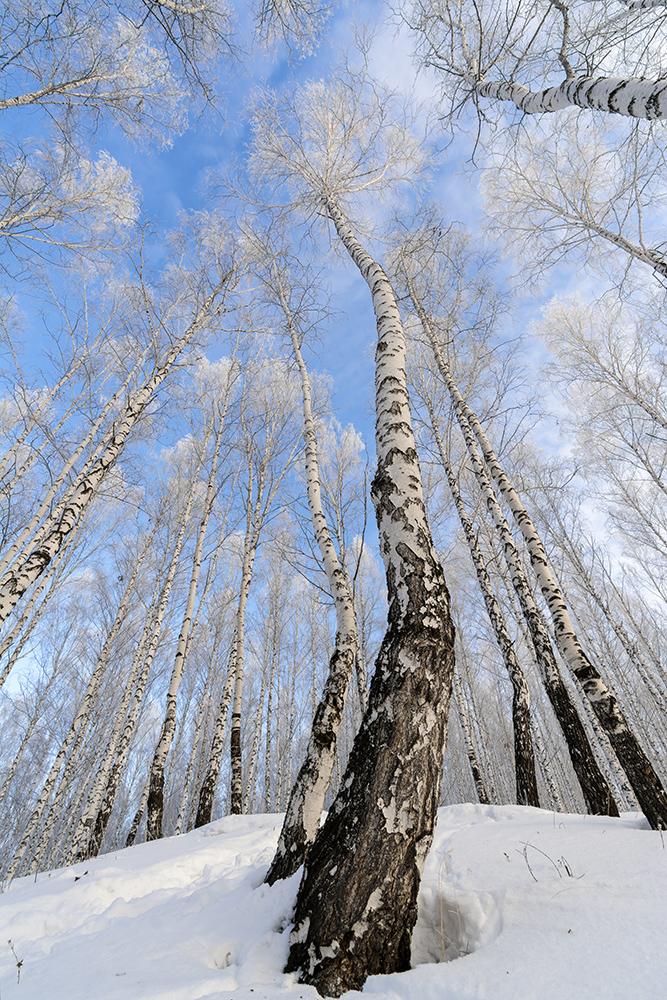 "photo ""***"" tags: landscape, nature, birches, hoarfrost, winter, голубое небо, холод"