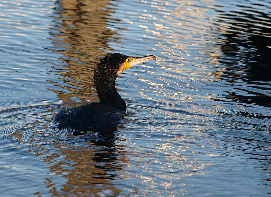 """photo """"Cormorant Out of the water"""" tags: nature, portrait, reporting, bird, cormoran, habor"""