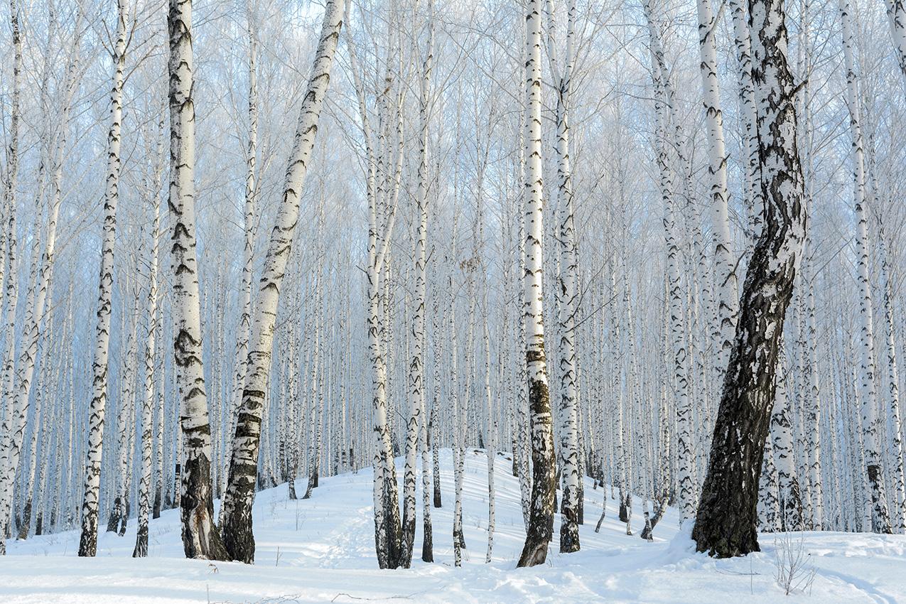 "photo ""***"" tags: nature, birches, winter, голубой лес, мороз, холод"
