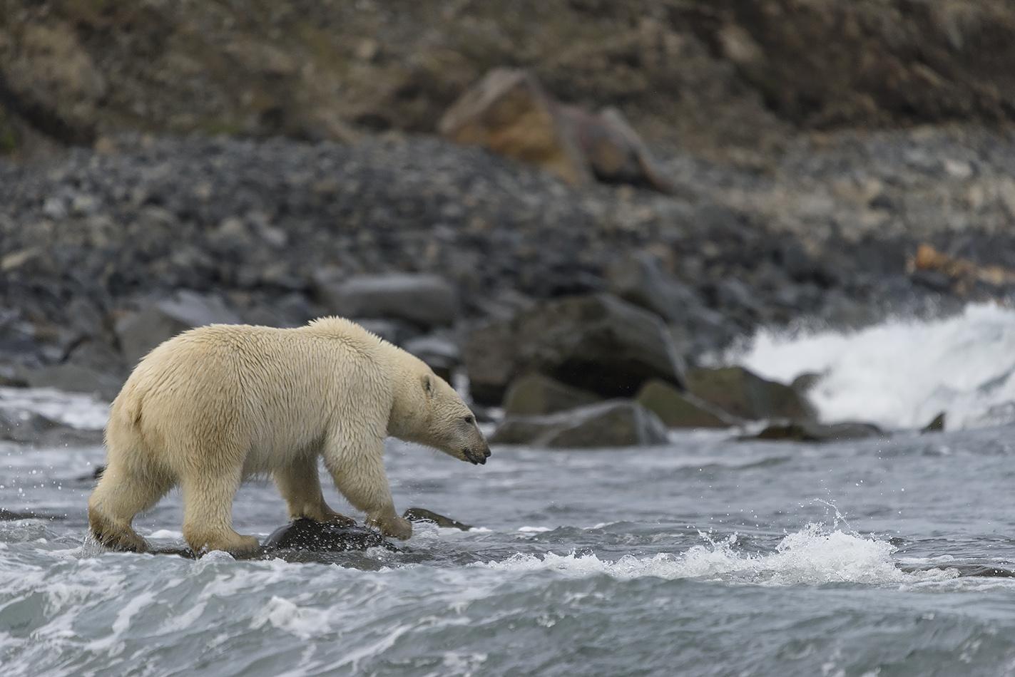 """фото """"Пошёл купаться"""" метки: природа, путешествия, Чукотка, белый медведь, животные, море, путешествие"""