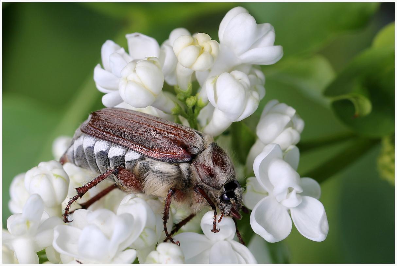 "photo ""Lilac bloomed"" tags: nature, macro and close-up,"