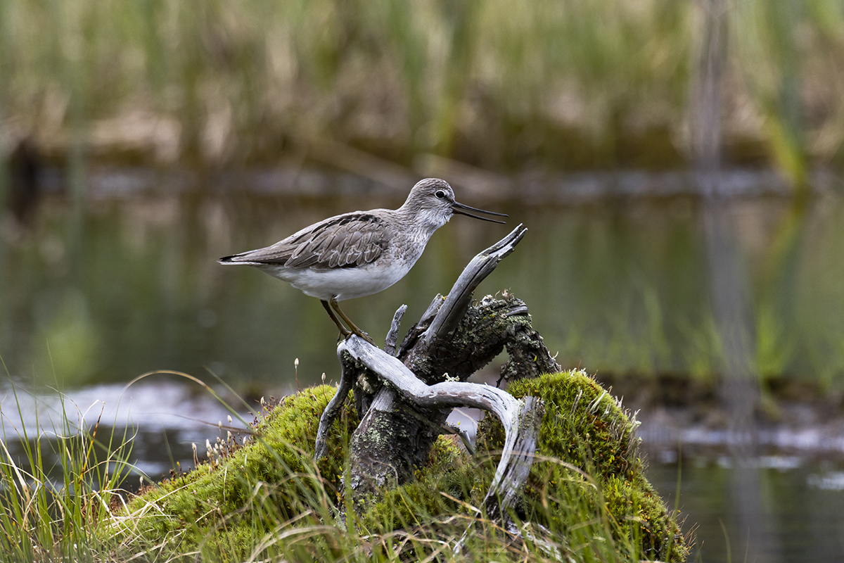 "photo ""Xenus cinereus"" tags: nature, bird, болото, кулик, мородунка, фауна"