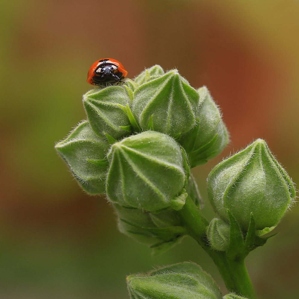 """photo """"***"""" tags: macro and close-up, nature, божья коровка, мальва"""