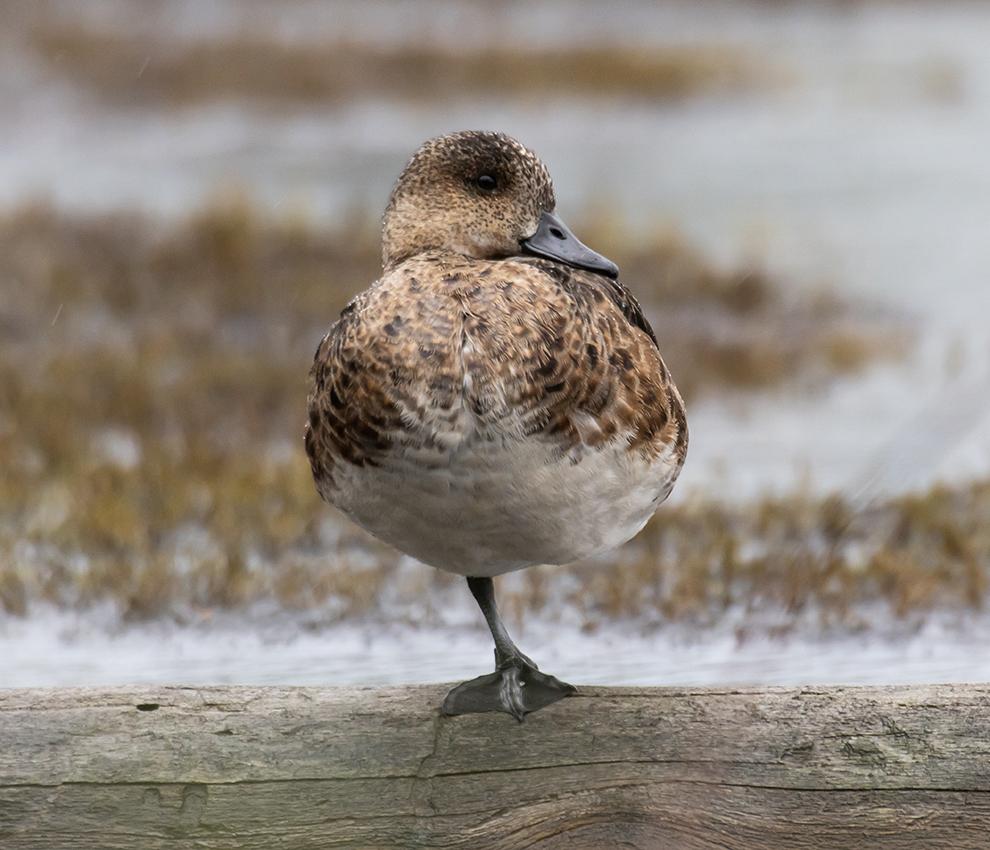 """photo """"***"""" tags: nature, bird, wild animals, болото, утка, фауна, чирок-свистунок"""