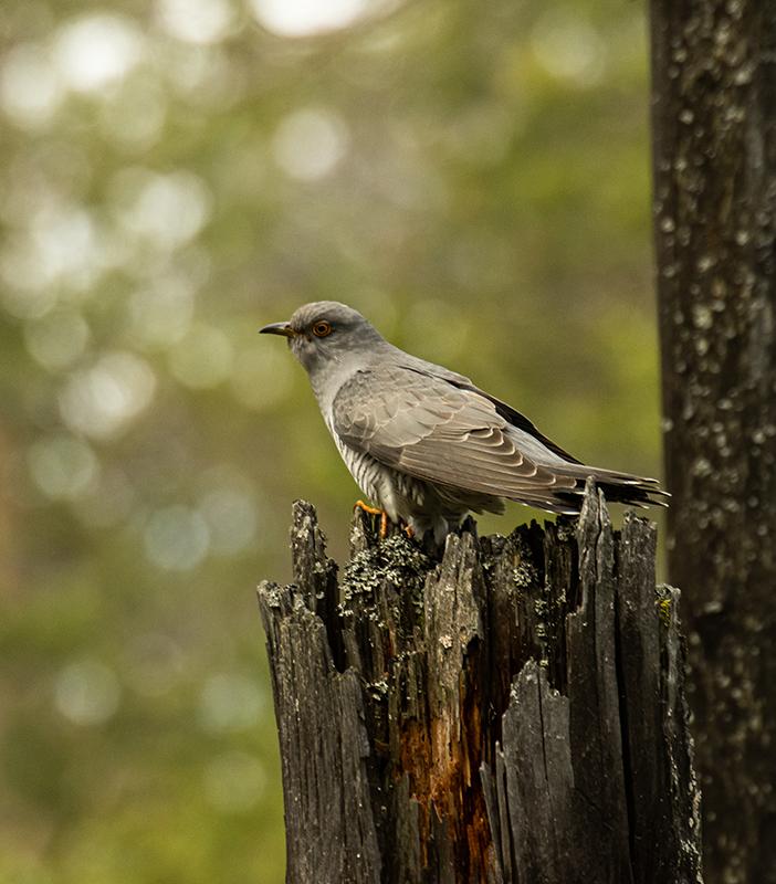 "photo ""Cuculus canorus"" tags: nature, bird, forest, taiga, wild animals, Кукушка, фауна, фотоохота"