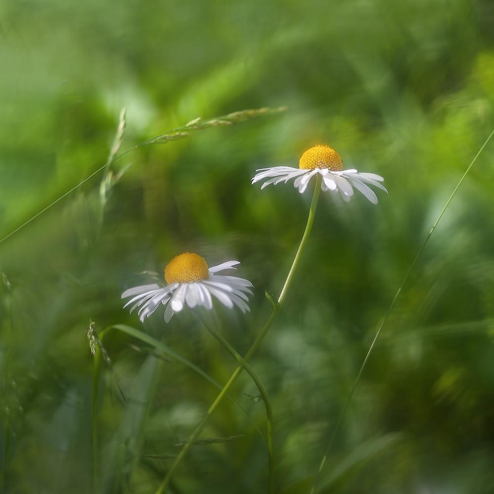 """фото """"Ветрено-моноклевое лето..."""" метки: макро и крупный план,"""