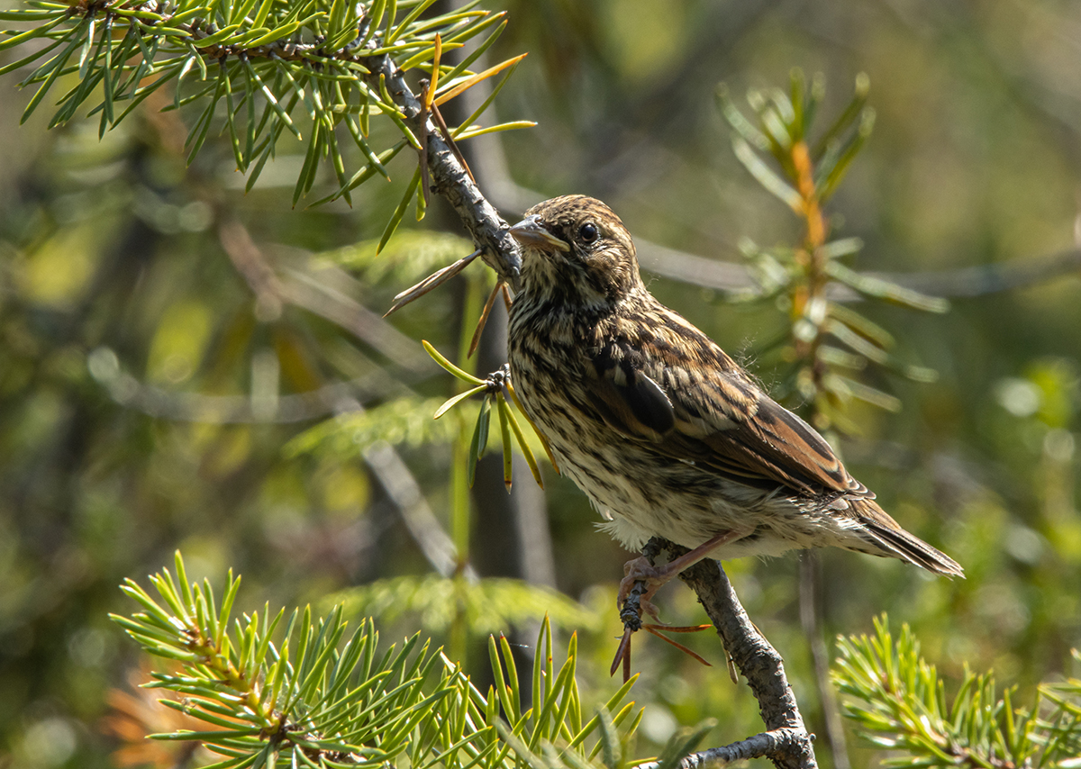 "photo ""***"" tags: nature, bird, taiga, wild animals, овсянка-крошка, птенец, фауна, фотоохота"