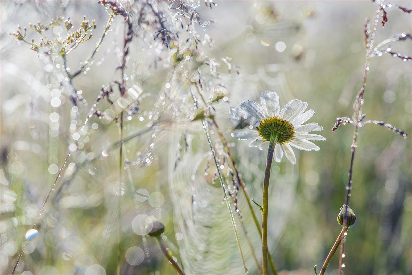 "photo ""***"" tags: nature, macro and close-up, summer, Капли росы, паутинка, ромашка, роса"