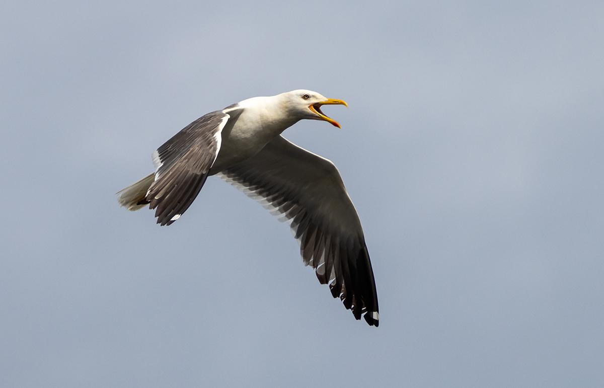 "photo ""***"" tags: nature, bird, sky, wild animals, западно-сибирская чайка, фауна, фотоохота, халей"