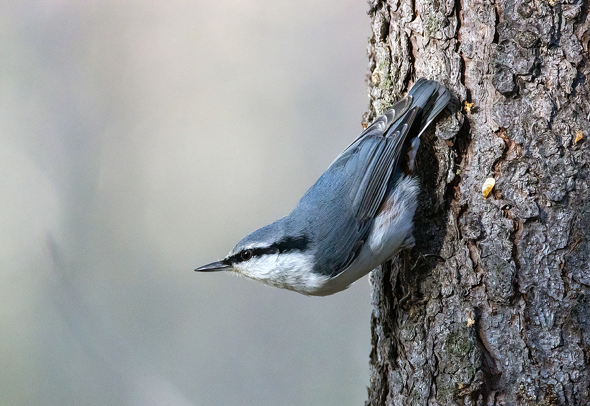 "photo ""***"" tags: nature, macro and close-up, autumn, bird, forest, taiga, wild animals, поползень, фауна, фотоохота"
