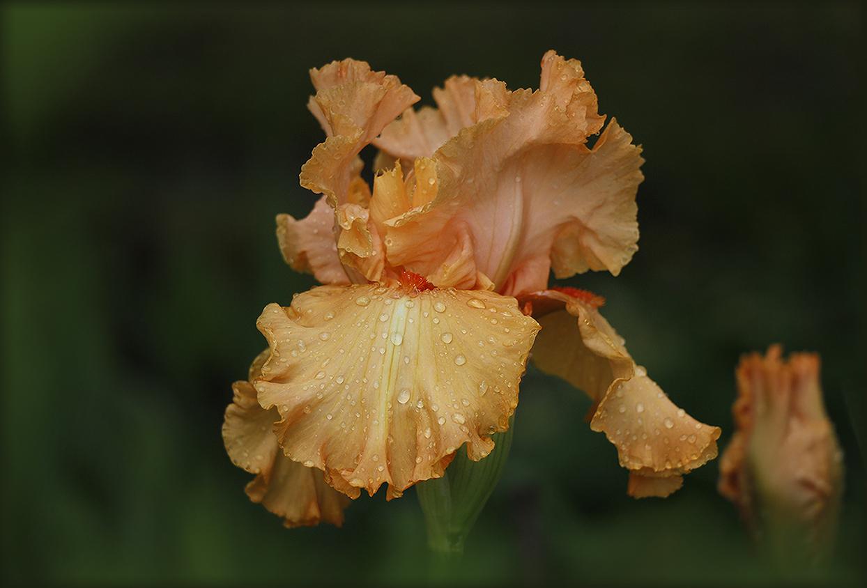 "photo ""***"" tags: nature, macro and close-up, Iris"