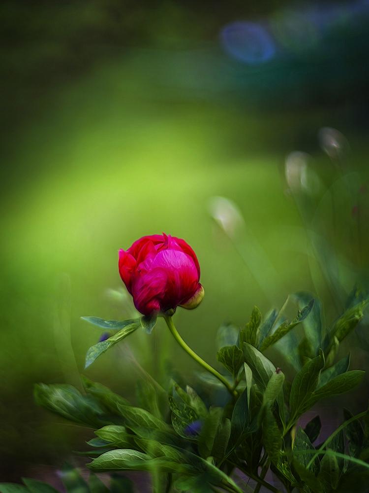 "фото ""Яркий пион..."" метки: природа,"