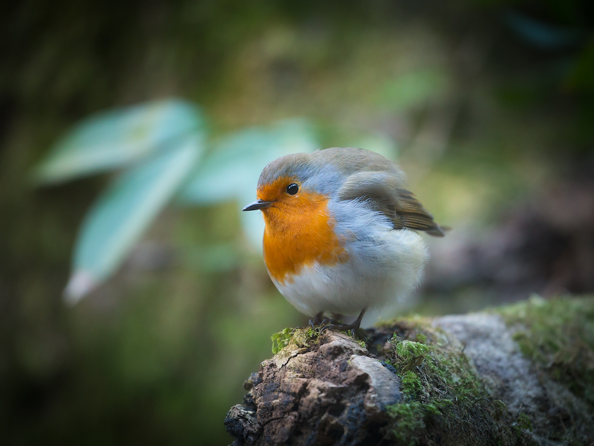 "photo ""***"" tags: nature, macro and close-up, bird, зарянка, малиновка"