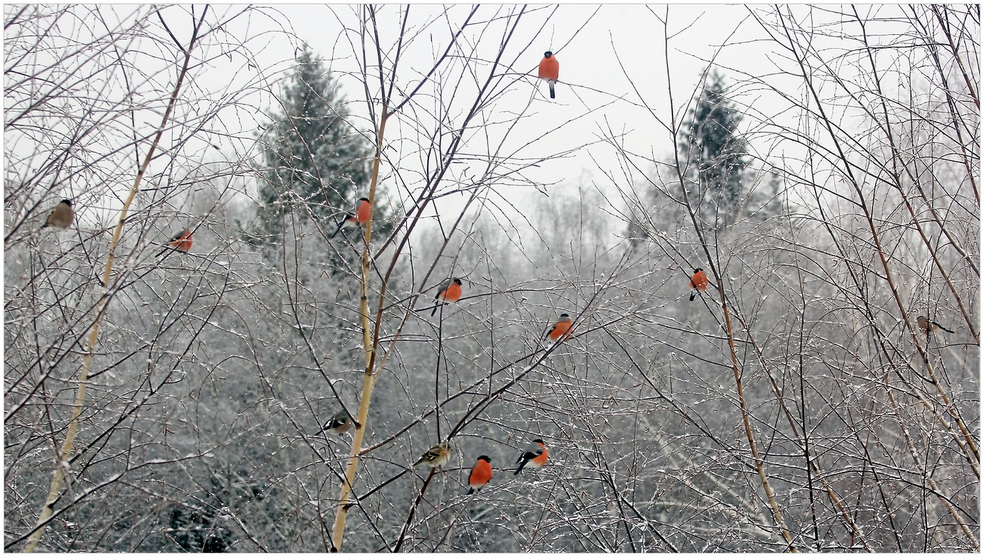 "photo ""Bullfinches"" tags: nature,"