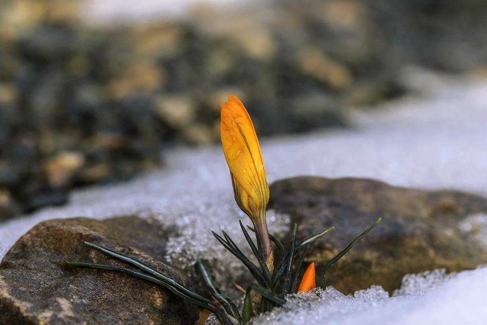 """фото """"Солдаты Весны"""" метки: макро и крупный план, крокусы"""