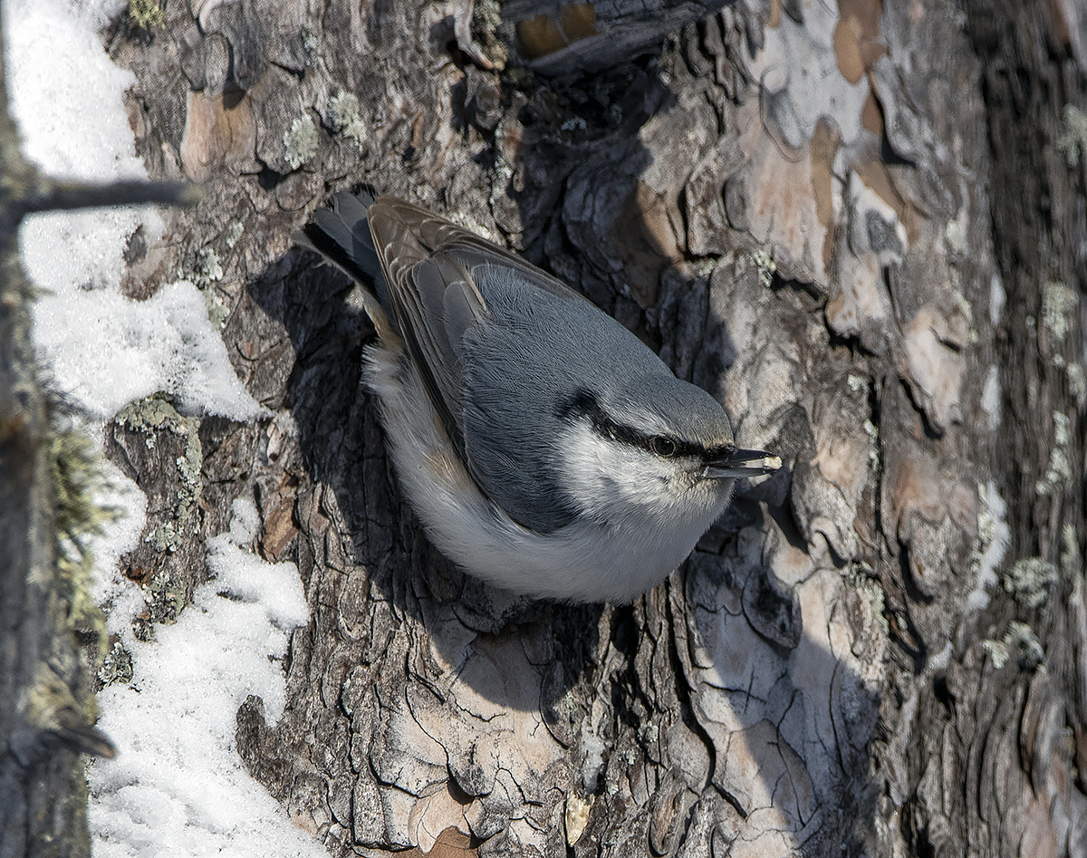 "photo ""nuthatch"" tags: nature, macro and close-up, portrait, bird, birds, fauna, forest, photo hunt, taiga, winter, поползень, фауна, фотоохота"