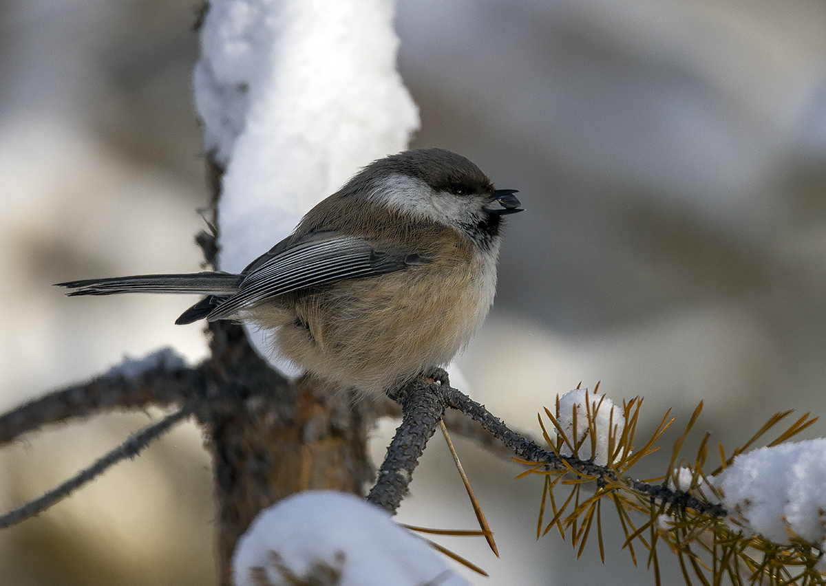 "photo ""gray-headed tit"" tags: nature, macro and close-up, bird, birds, fauna, forest, photo hunt, taiga, wild animals, winter, сероголовая гаичка, фауна, фотоохота"