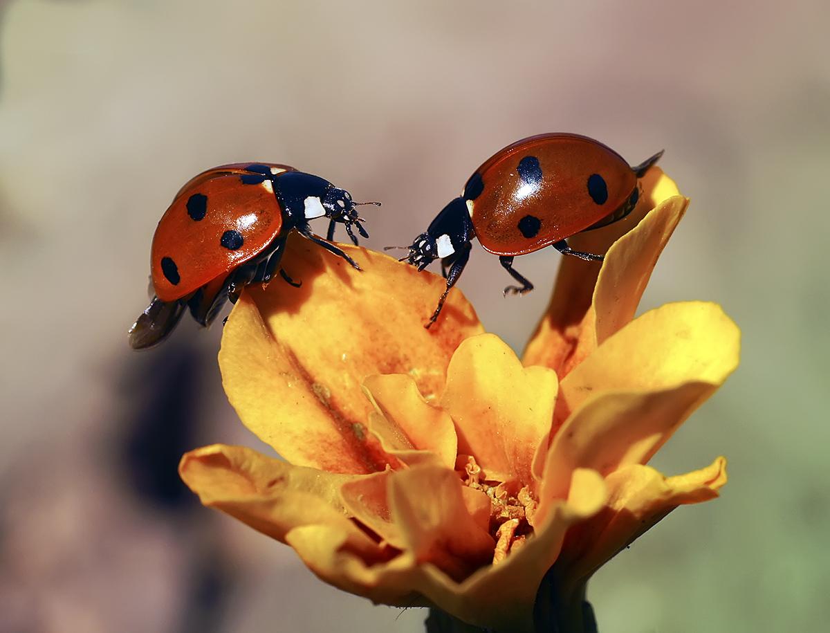 "photo ""***"" tags: macro and close-up, божья коровка, насекомое .макро"