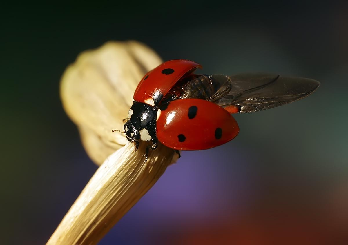 """фото """"В полет"""" метки: макро и крупный план, природа, божья коровка, макро, насекомое"""