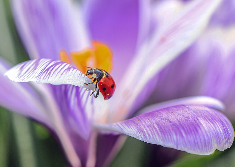 """photo """"***"""" tags: macro and close-up, nature, божья коровка, крокус"""