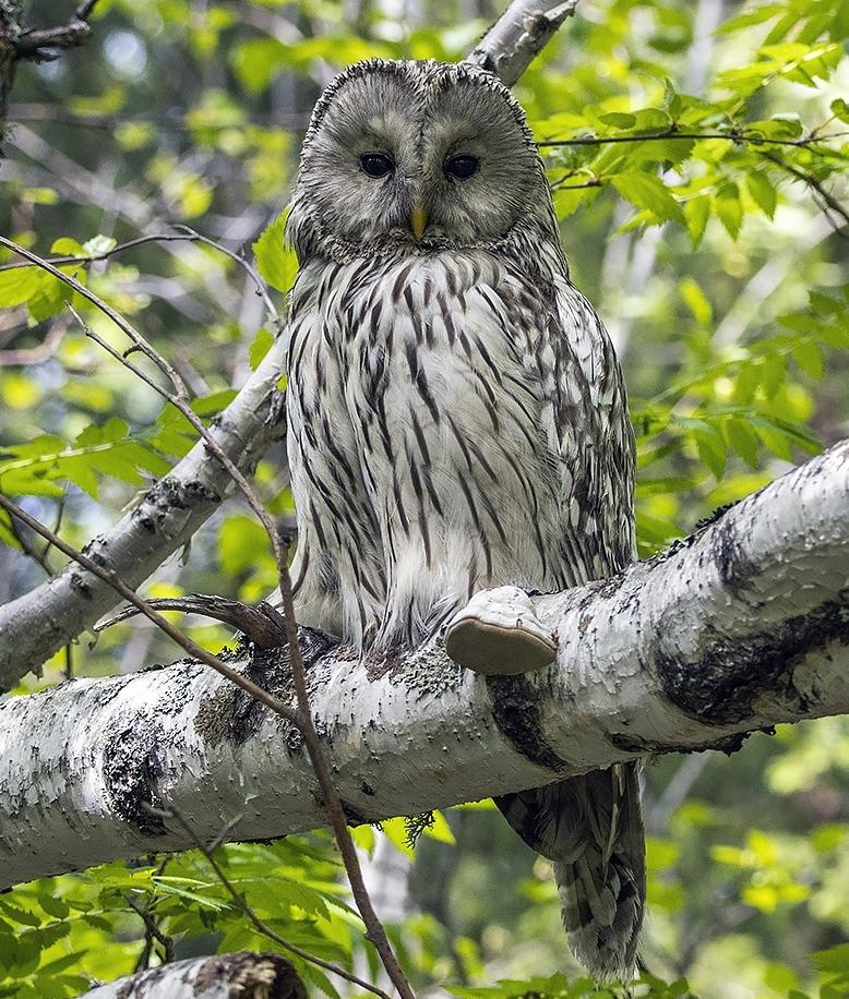 "photo ""***"" tags: nature, macro and close-up, portrait, bird, birds, fauna, forest, photo hunt, summer, taiga, wild animals, длиннохвостая неясыть, сова, фауна, фотоохота, хищник"