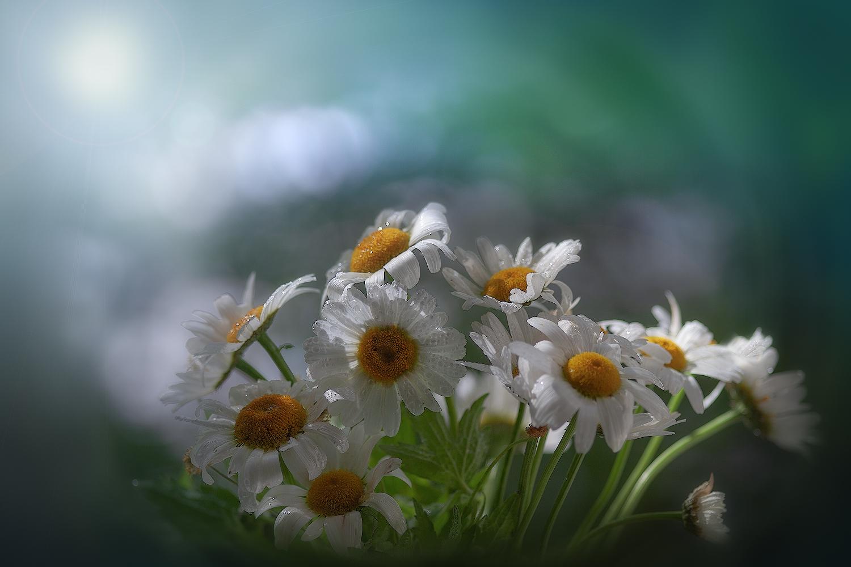 """фото """"Белое облако ромашек..."""" метки: природа, макро и крупный план,"""