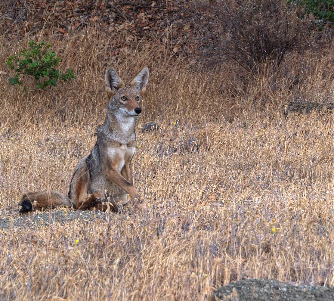 "photo ""Койот на оленей тропинке"" tags: nature, coyote, шакал"