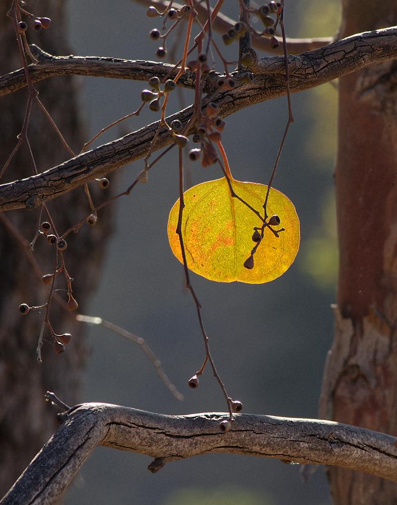 "photo ""Полнолуние"" tags: macro and close-up, eucaliptus"